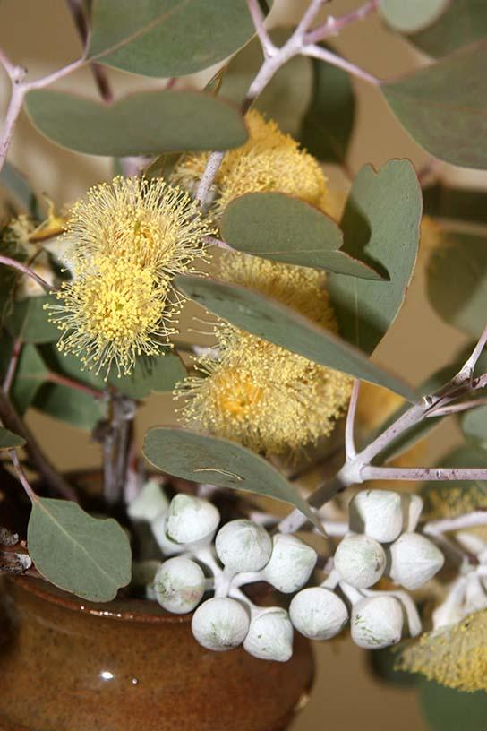 Eucalyptus sp for Website