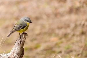 Easter-Yellow-Robin