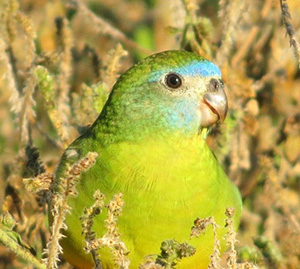 Female-Turquoise-Parrot
